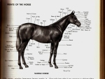 The necessary points of a horse